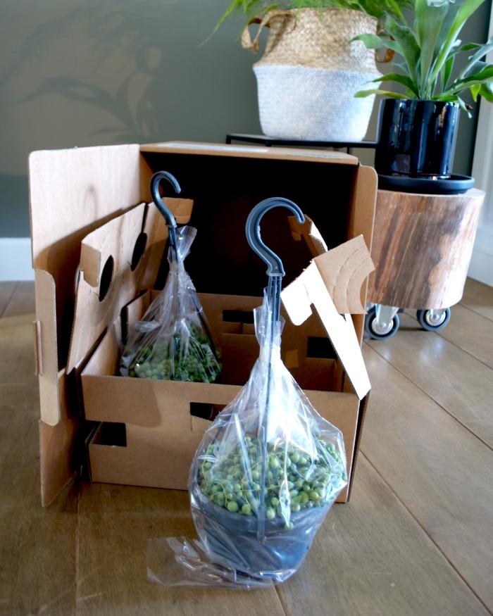 planten, asparagus, herstshoorn, plantstyling, kamerplanten, planten