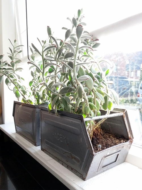 kalanchoë tomentosa, pandaplant, vetplant, makkelijke verzorging, veel licht