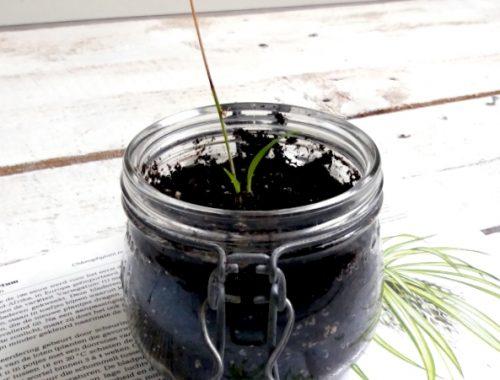stekje chlorophytum