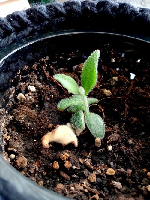 pandaplant, vetplant, makkelijke verzorging, stekje, vermeerderen