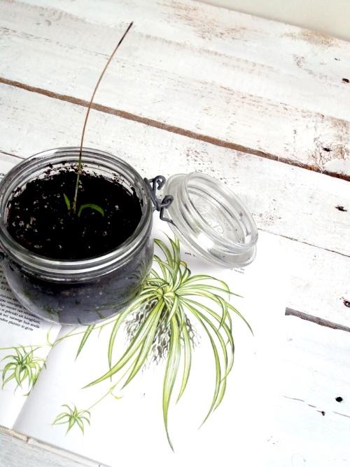 stekje, chlorophytum, graslelie, kamerplant, planten