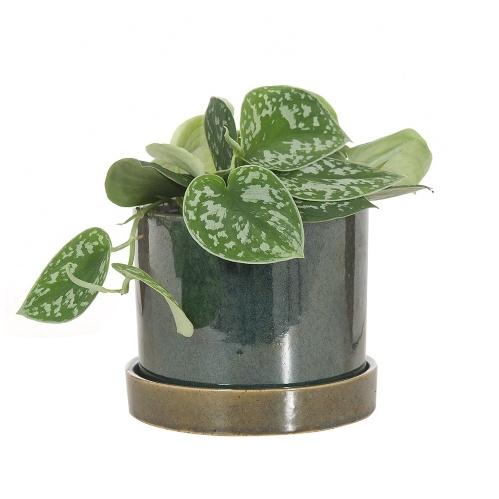 kamerplant wenslijst, scindapsus pictus,