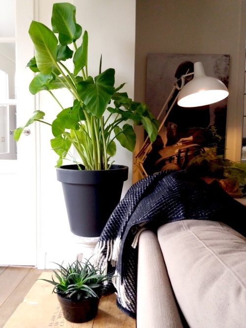 aronskelk, calla, kamerplant, urbanjungle, kerstboom eruit, goedkope plant erin
