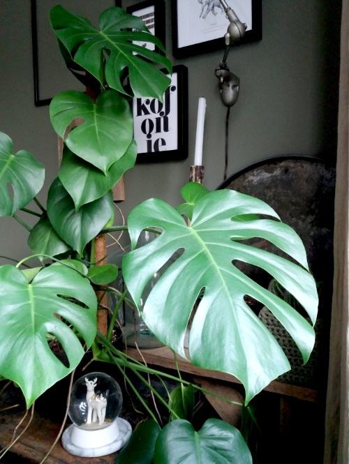 monstera, monstera deliciosa, kamerplant, urbanjungle, kerstboom eruit, goedkope plant erin