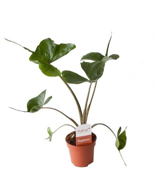 mijn kamerplanten wenslijstje, alocasia stingray, olifantsoor