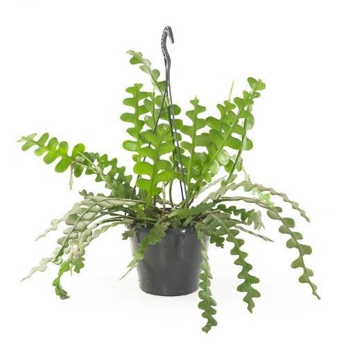 kamerplant wenslijst, zaagcactus, epiphyllum anguliger