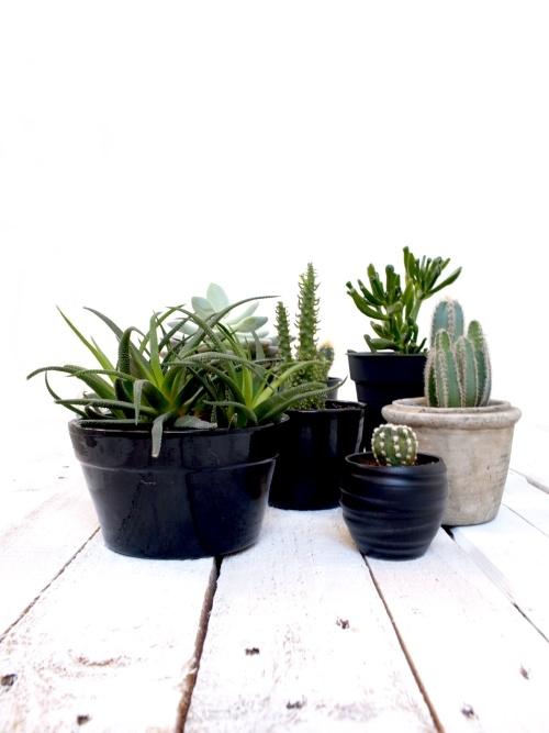 succulenten, vetplanten, cactussen, haworthia, crassula, echeveria