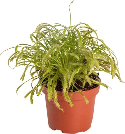 carnivorous plant, carnivoor, zonnedauw, kaapse zonnedauw, drosera, drosera capensis, vleesetende plantjes