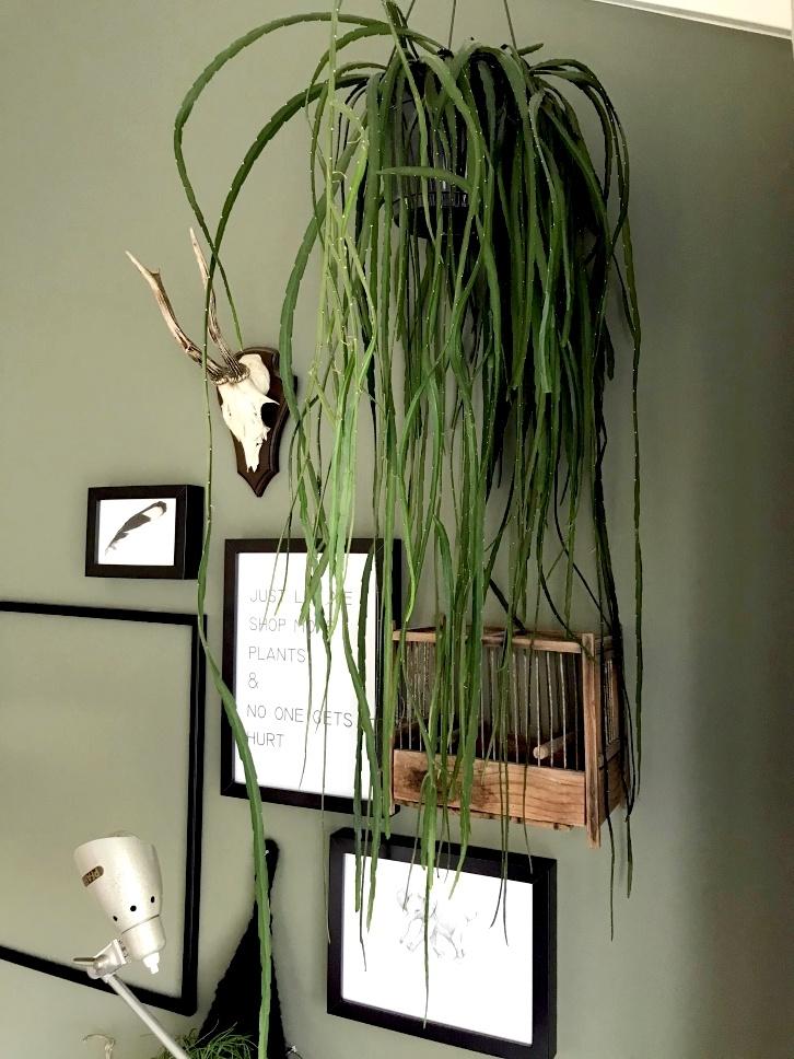 rhipsalisparadoxa, koraalcactus, rotskoraal, hangplant, kamerplant, jungleplant, urbanjungle, plantstyling, rhipsalis, verzorging, stekken