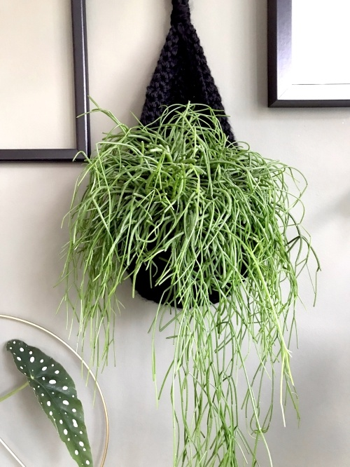 rhipsaliscassutha, koraalcactus, rotskoraal, hangplant, kamerplant, jungleplant, urbanjungle, plantstyling, rhipsalis, verzorging, stekken