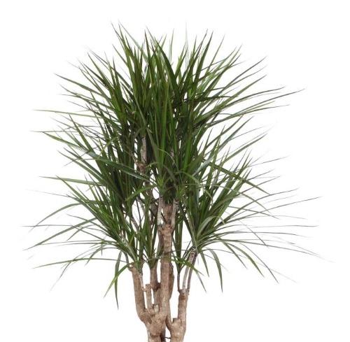 luchtzuiverende plant, kalmerende plant, rustgevende plant, planten tegen stress, thuiswerken, dracaena, drakenbloedboom
