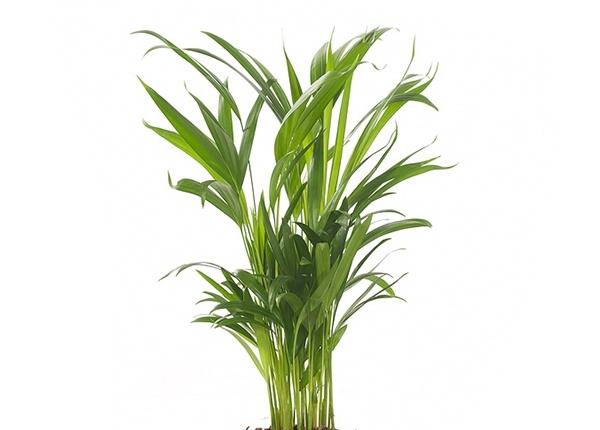 dypsis,, areca palm, goudpalm, luchtzuiverende plant, kalmerende plant, rustgevende plant, planten tegen stress